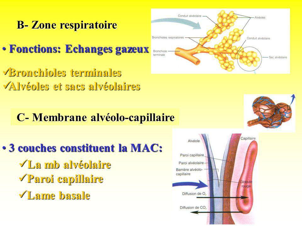 B- Zone respiratoireFonctions: Echanges gazeux. Bronchioles terminales. Alvéoles et sacs alvéolaires.