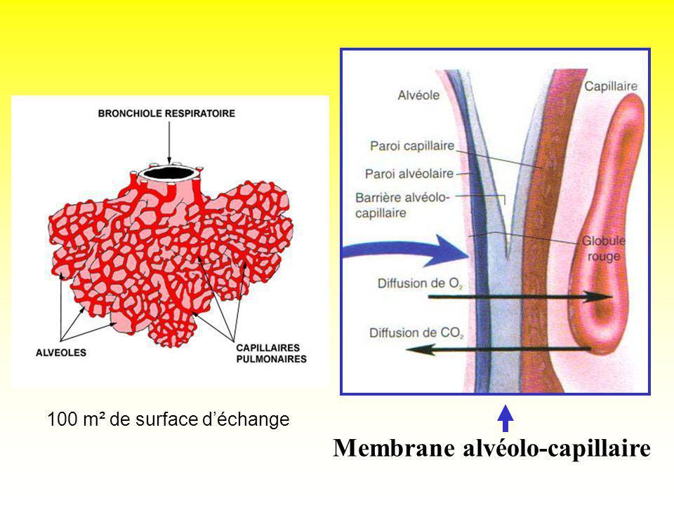 Membrane alvéolo-capillaire