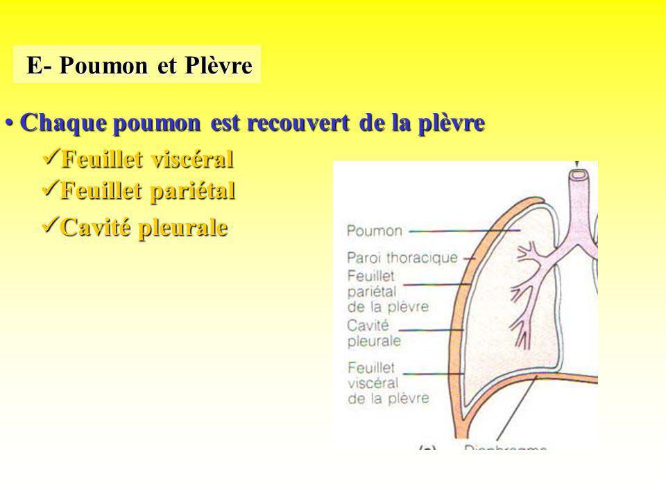 E- Poumon et PlèvreChaque poumon est recouvert de la plèvre.