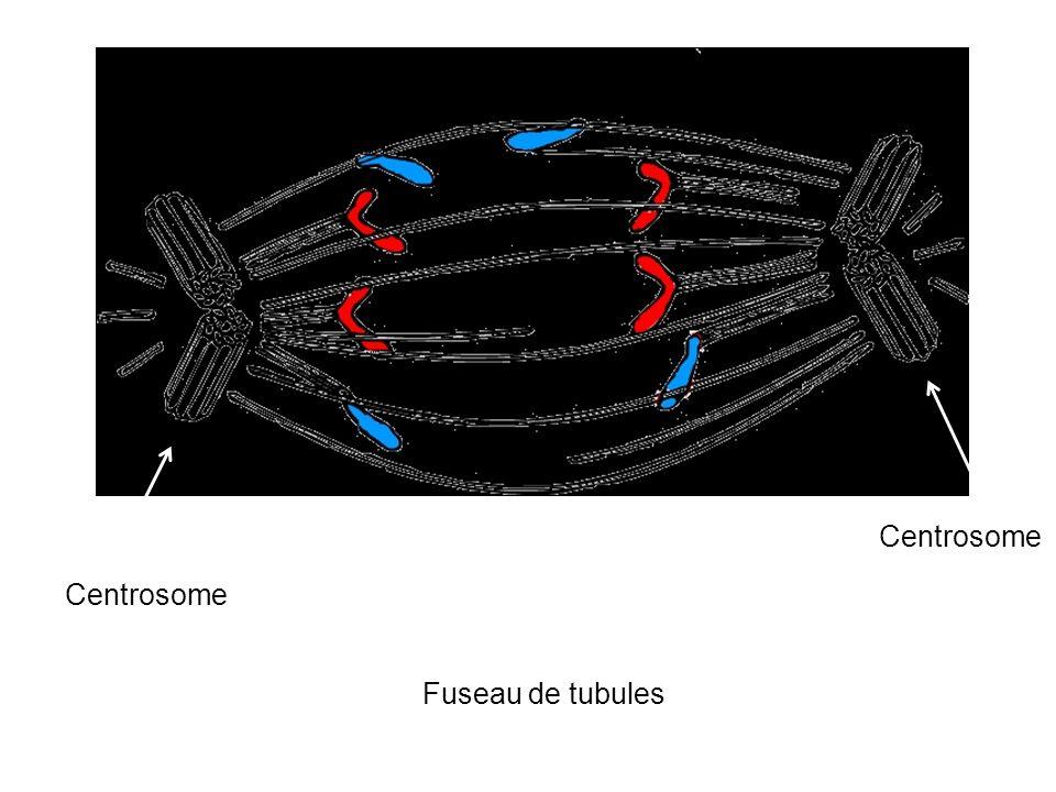 Centrosome Centrosome Fuseau de tubules