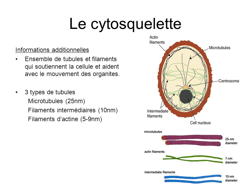 Le cytosquelette Informations additionnelles