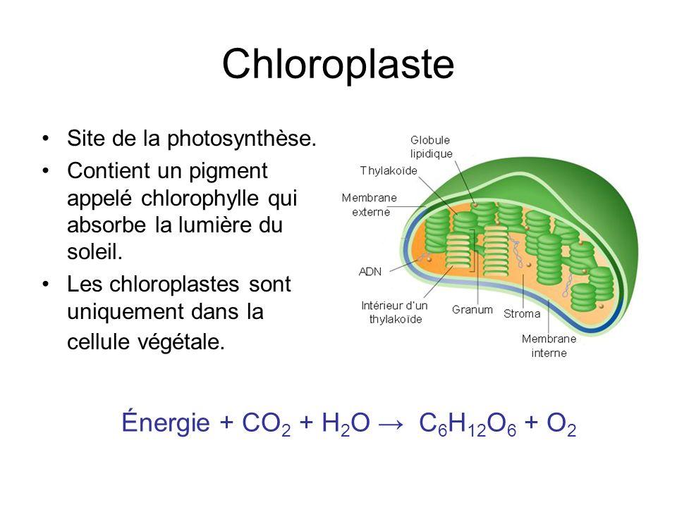 Chloroplaste Énergie + CO2 + H2O → C6H12O6 + O2