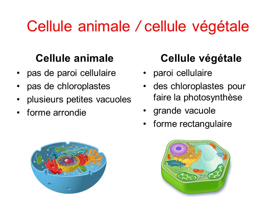 Cellule animale / cellule végétale
