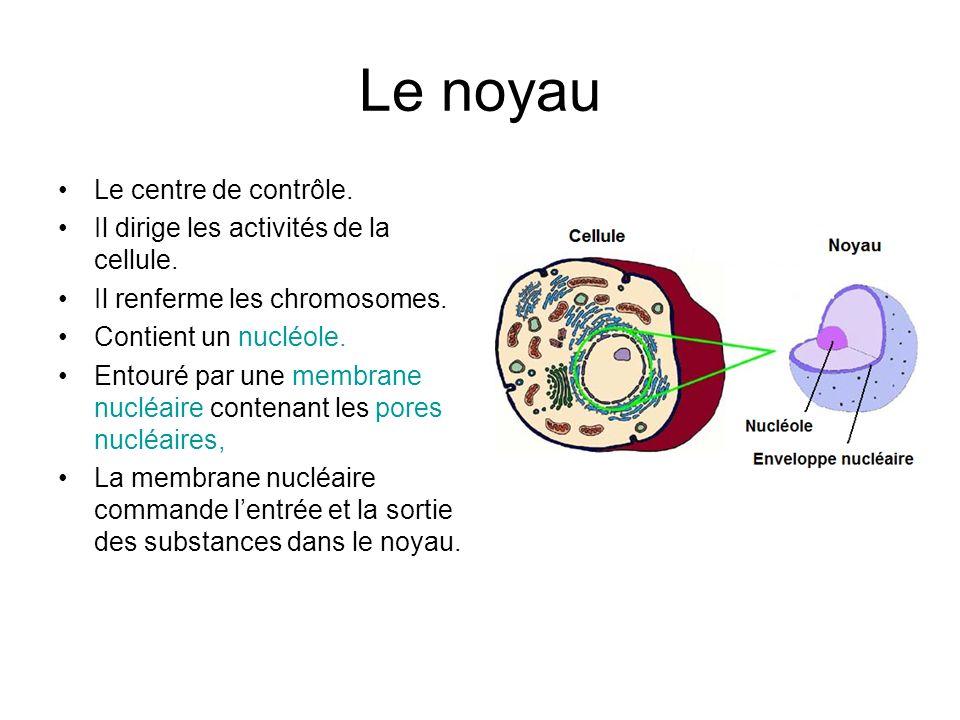 Le noyau Le centre de contrôle. Il dirige les activités de la cellule.