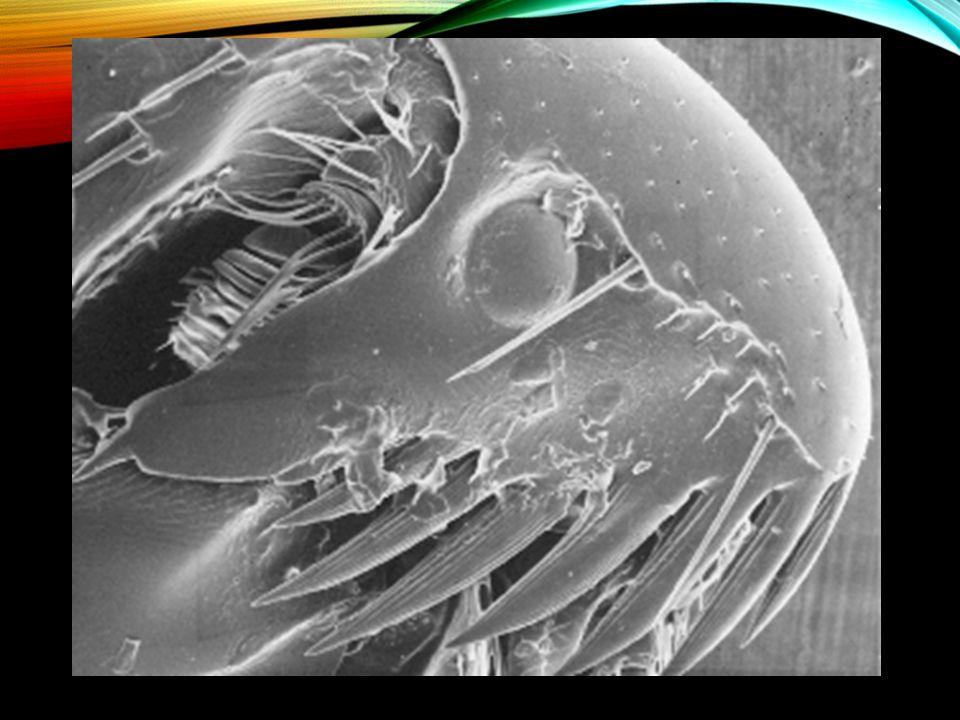 La tête d'une puce (flea)