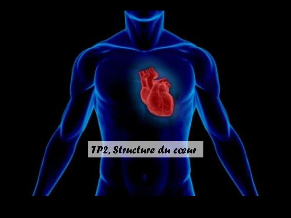 TP2, Structure du cœur