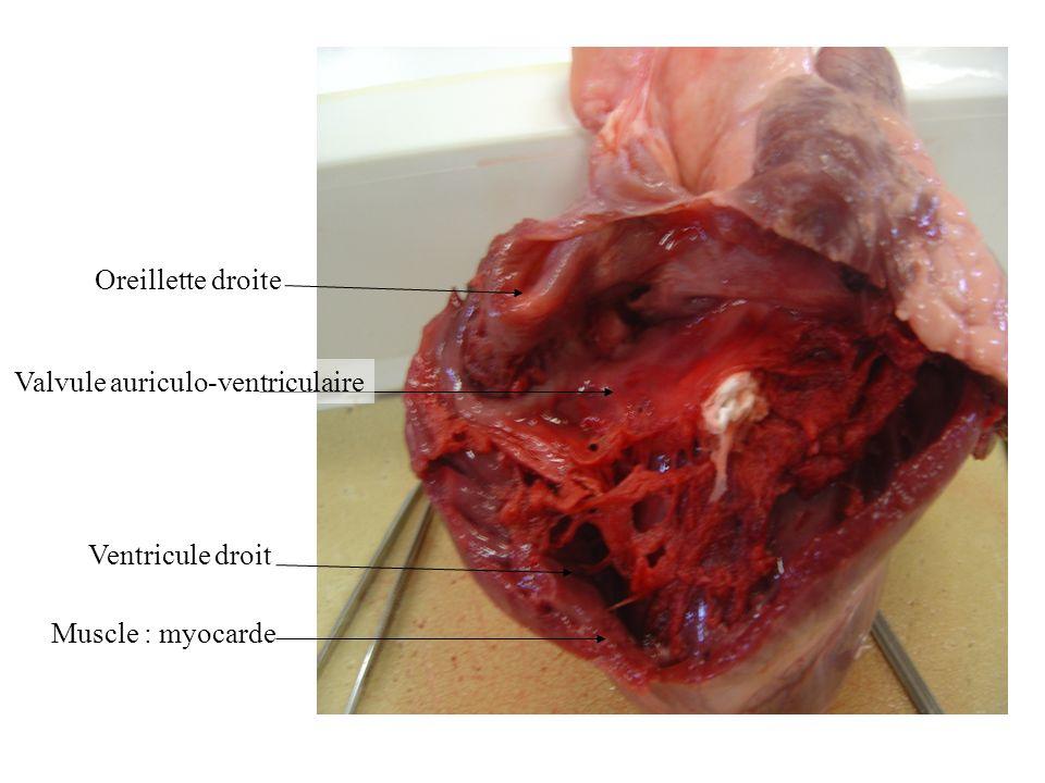 Oreillette droite Valvule auriculo-ventriculaire Ventricule droit Muscle : myocarde