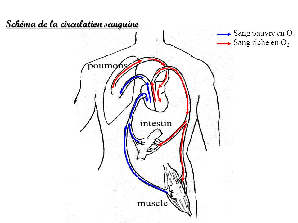Schéma de la circulation sanguine