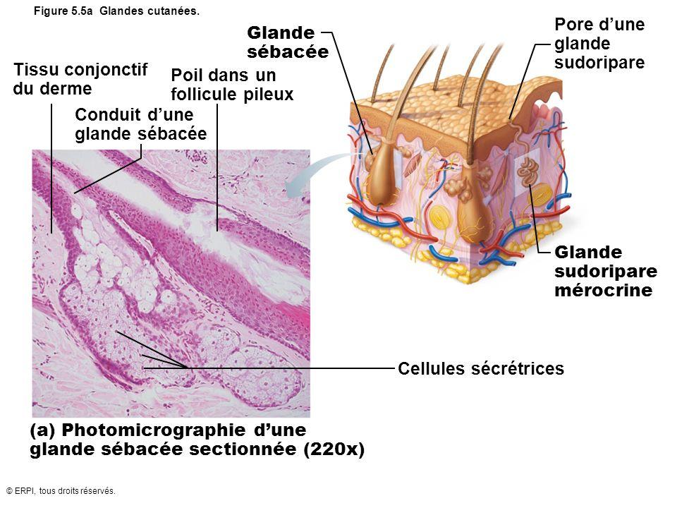 Figure 5.5a Glandes cutanées.
