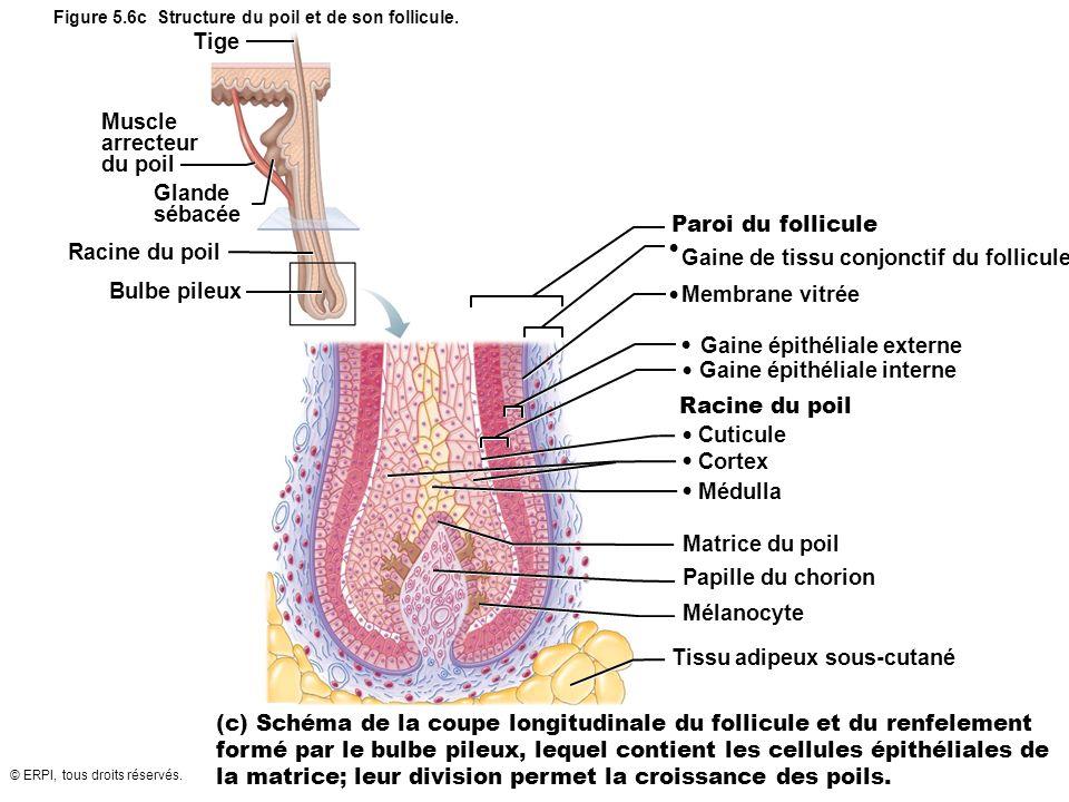 Figure 5.6c Structure du poil et de son follicule.