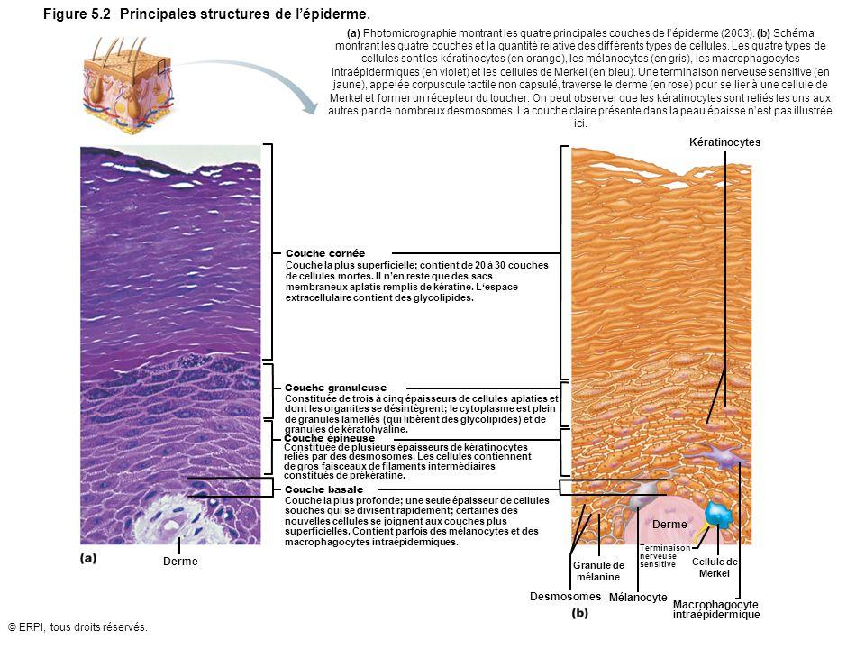 Figure 5.2 Principales structures de l'épiderme.