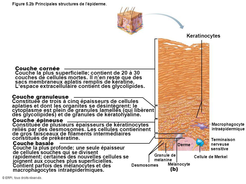 Figure 5.2b Principales structures de l'épiderme.