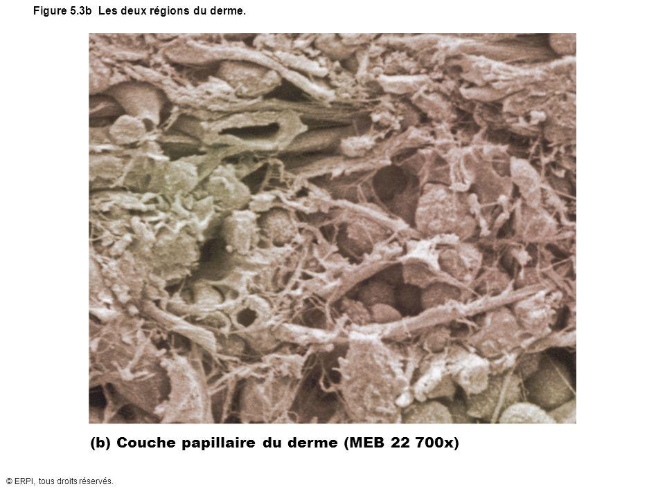 Figure 5.3b Les deux régions du derme.