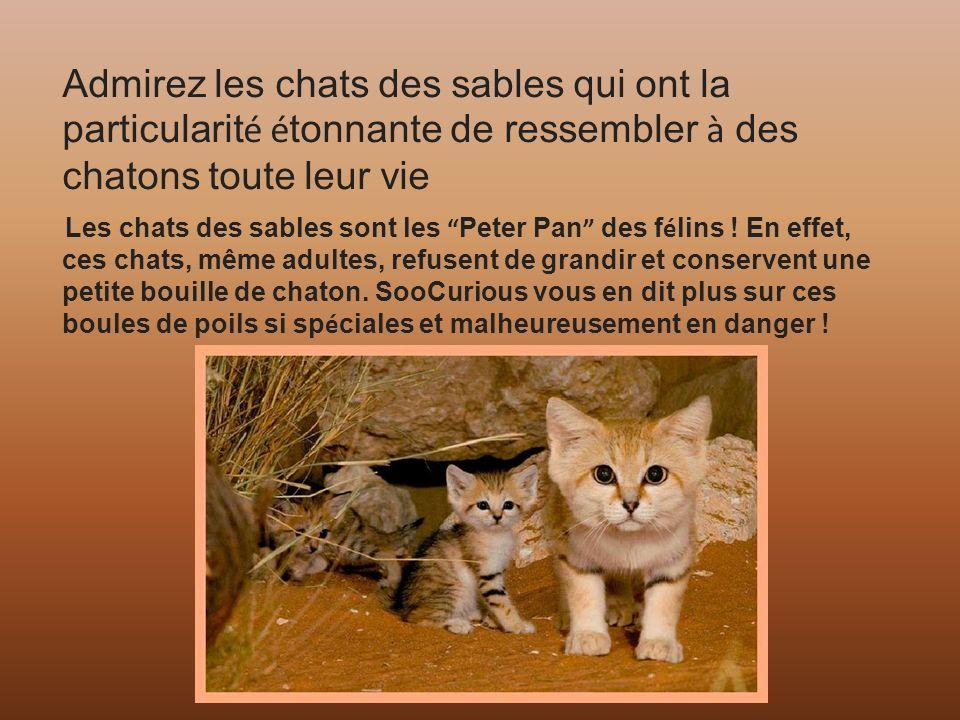Diaporama de gi chats des sables ppt t l charger - Chat des sables a vendre ...