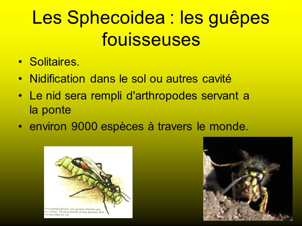 Les Sphecoidea : les guêpes fouisseuses