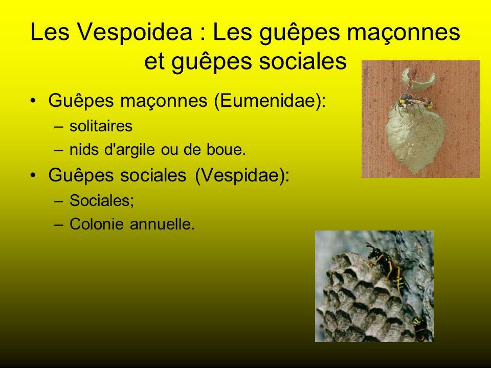 Les Vespoidea : Les guêpes maçonnes et guêpes sociales