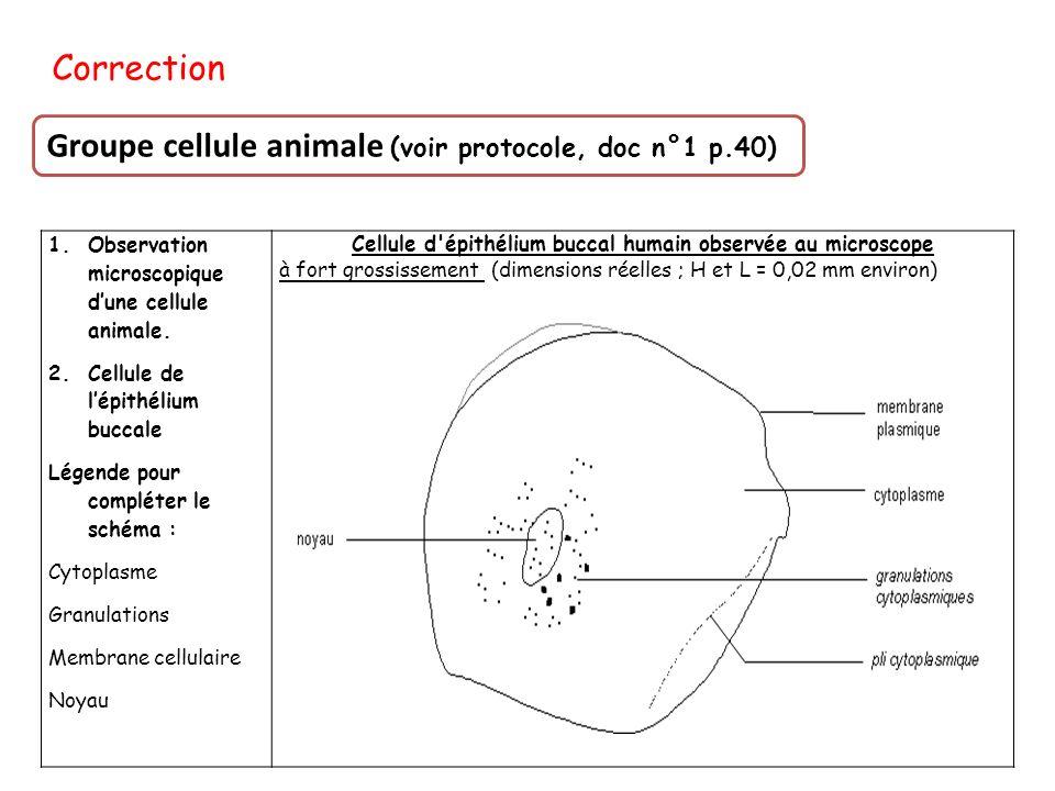 Cellule d épithélium buccal humain observée au microscope