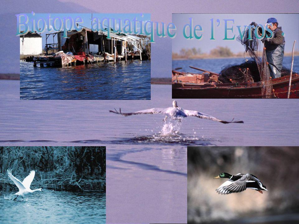 Biotope aquatique de l'Evros .