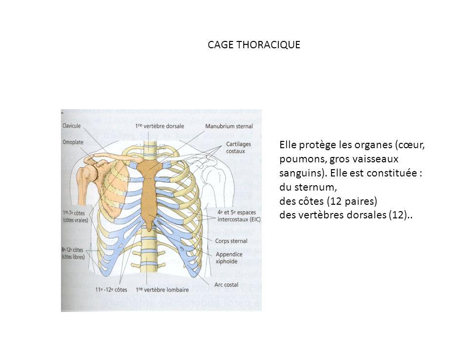 CAGE THORACIQUE Elle protège les organes (cœur, poumons, gros vaisseaux sanguins). Elle est constituée :