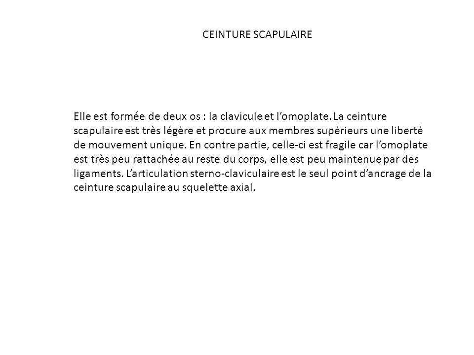 CEINTURE SCAPULAIRE
