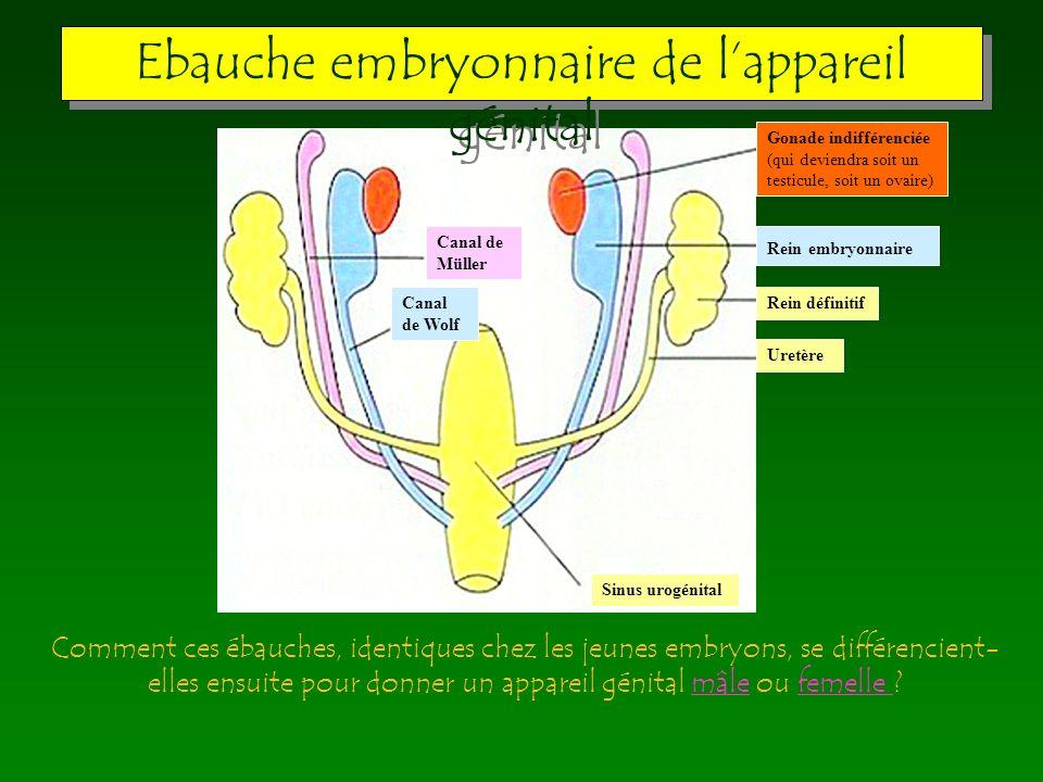 Ebauche embryonnaire de l'appareil génital