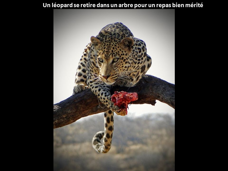 Un léopard se retire dans un arbre pour un repas bien mérité