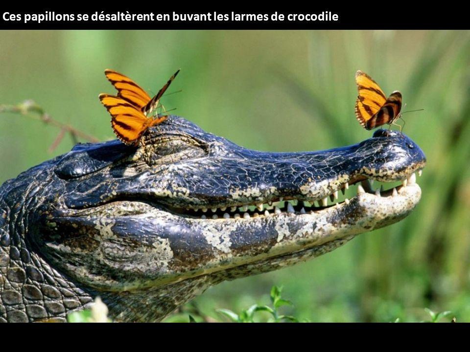 Ces papillons se désaltèrent en buvant les larmes de crocodile
