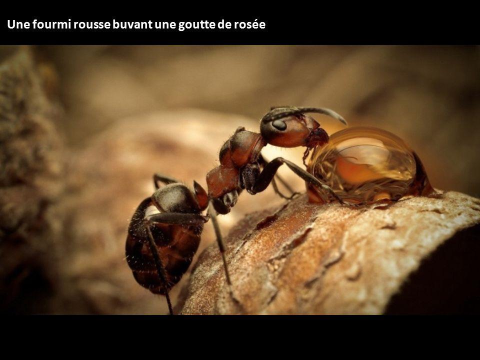 Une fourmi rousse buvant une goutte de rosée