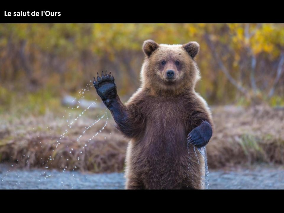 Le salut de l Ours
