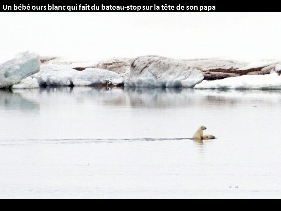 Un bébé ours blanc qui fait du bateau-stop sur la tête de son papa