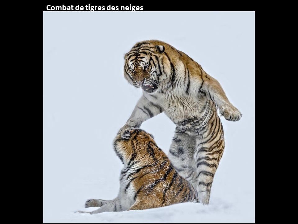Combat de tigres des neiges