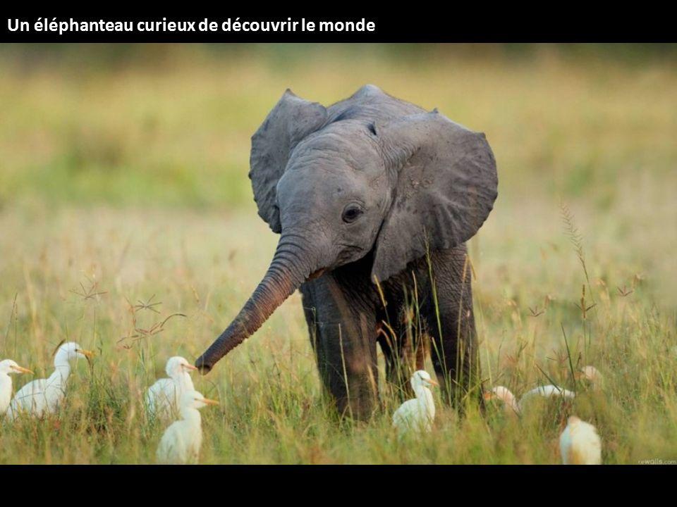 Un éléphanteau curieux de découvrir le monde