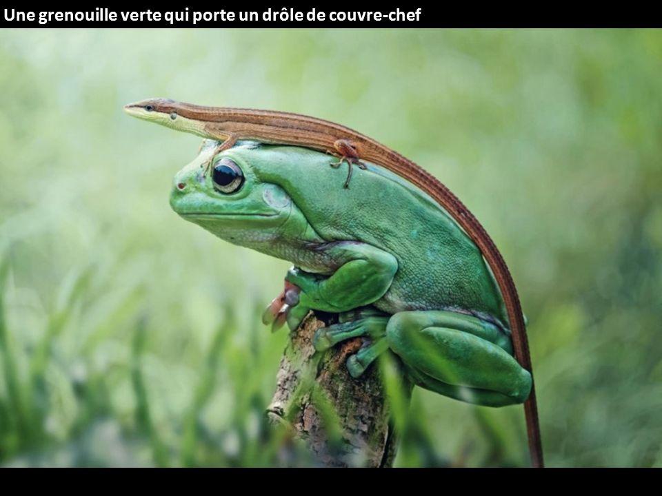 Une grenouille verte qui porte un drôle de couvre-chef