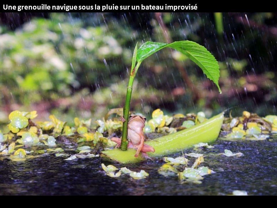 Une grenouille navigue sous la pluie sur un bateau improvisé