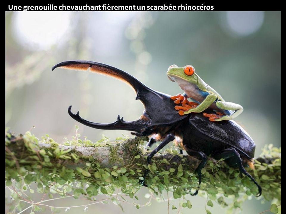 Une grenouille chevauchant fièrement un scarabée rhinocéros
