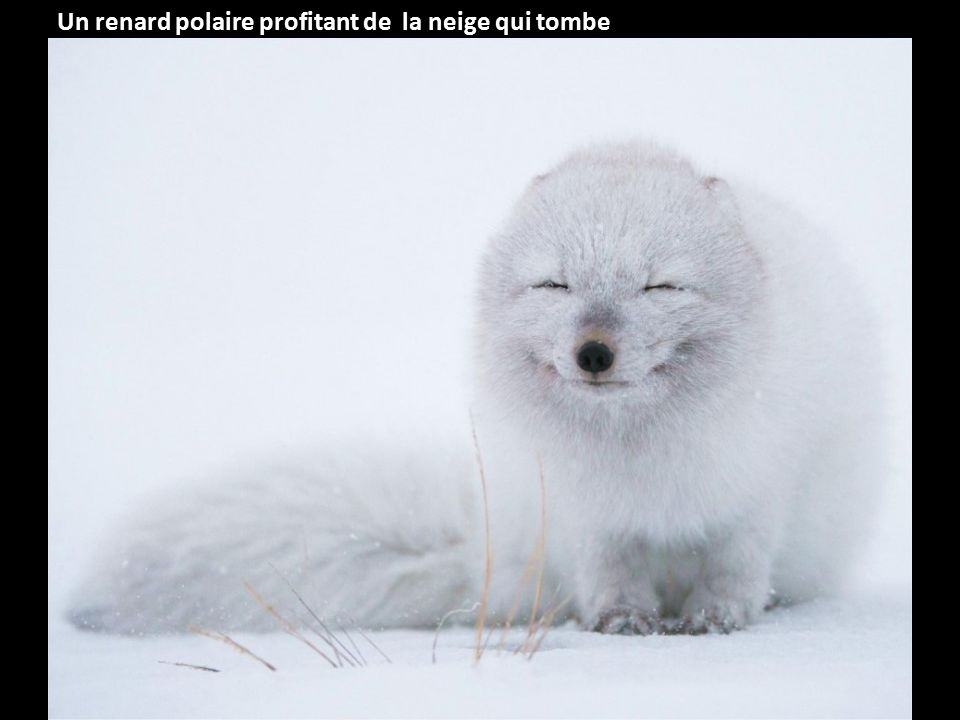 Un renard polaire profitant de la neige qui tombe
