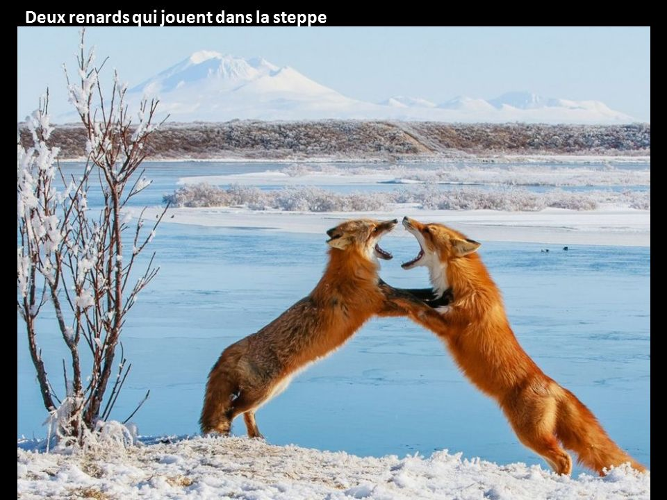 Deux renards qui jouent dans la steppe