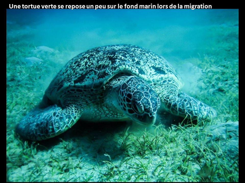 Une tortue verte se repose un peu sur le fond marin lors de la migration