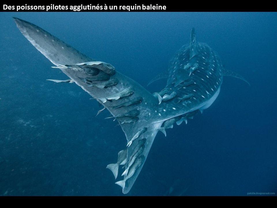 Des poissons pilotes agglutinés à un requin baleine