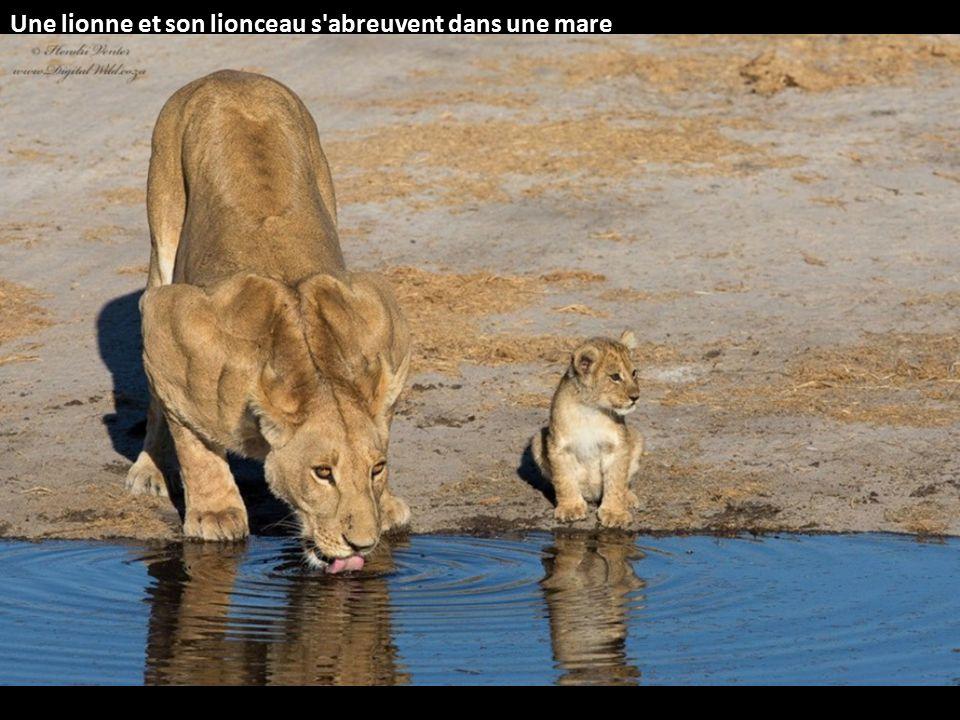 Une lionne et son lionceau s abreuvent dans une mare