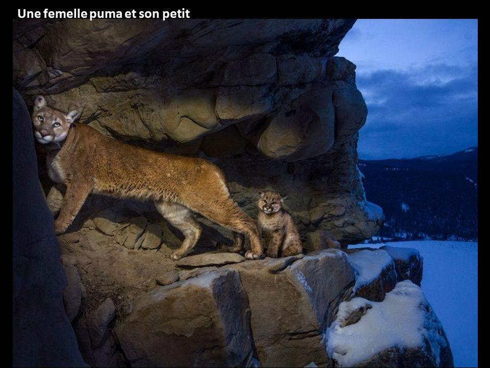 Une femelle puma et son petit