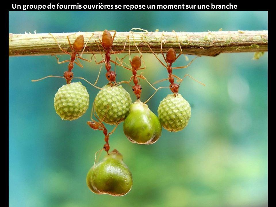 Un groupe de fourmis ouvrières se repose un moment sur une branche