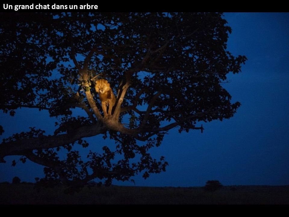 Un grand chat dans un arbre