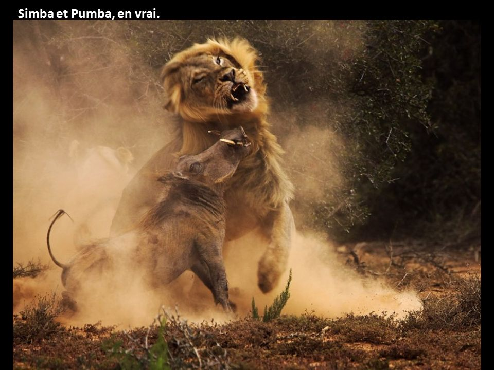Simba et Pumba, en vrai.