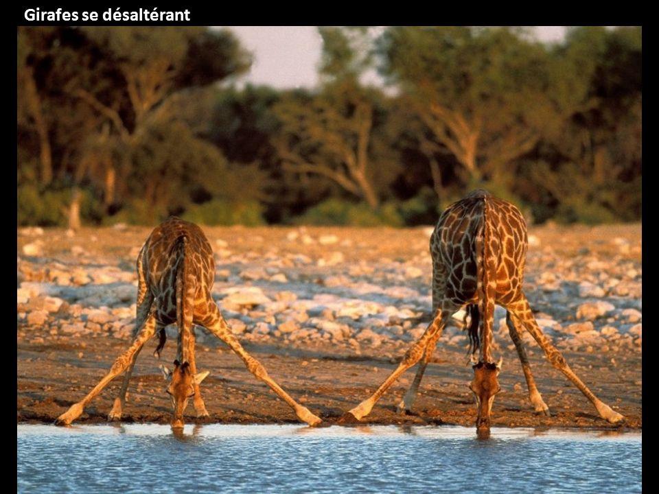 Girafes se désaltérant