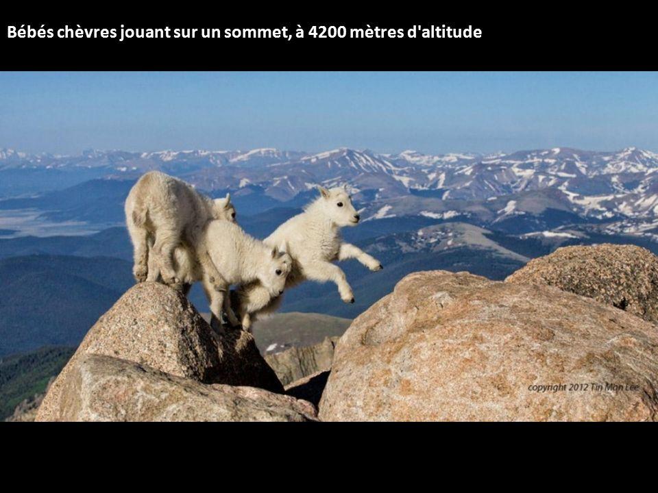 Bébés chèvres jouant sur un sommet, à 4200 mètres d altitude