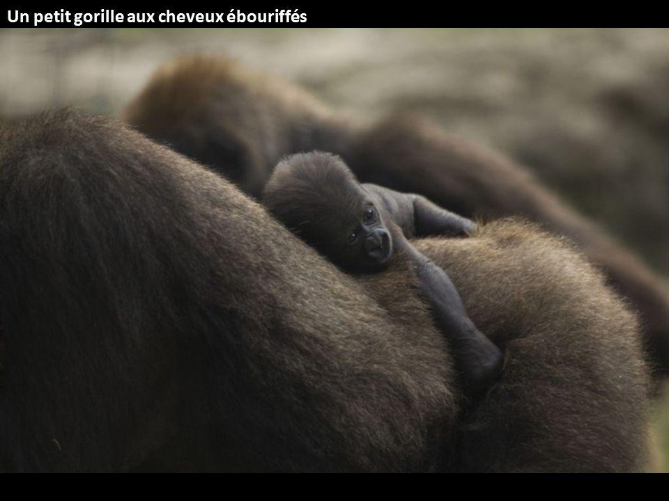 Un petit gorille aux cheveux ébouriffés
