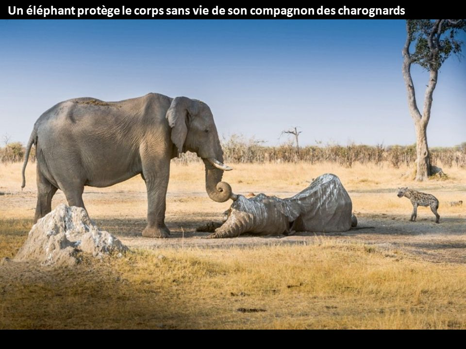 Un éléphant protège le corps sans vie de son compagnon des charognards