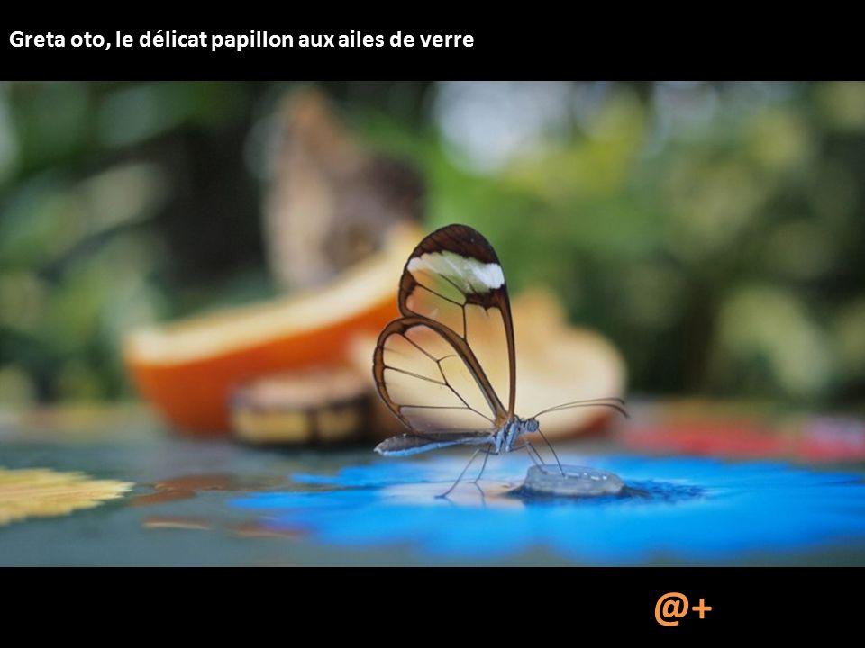 Greta oto, le délicat papillon aux ailes de verre