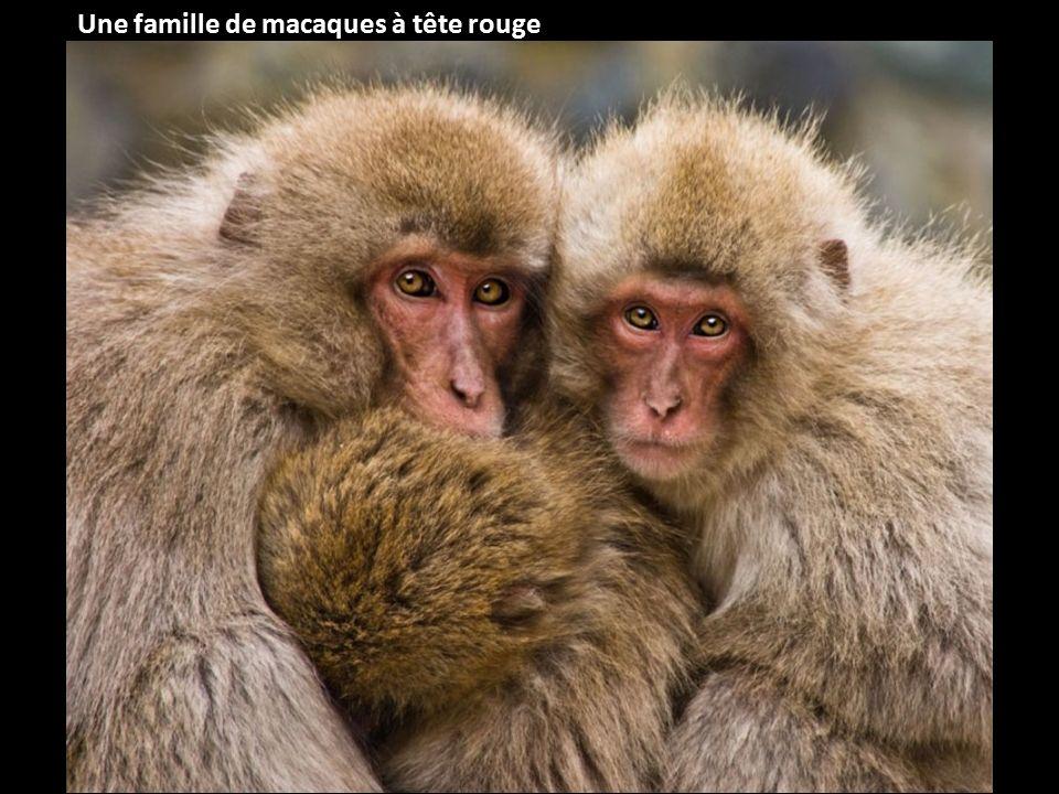 Une famille de macaques à tête rouge